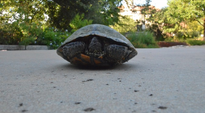 Turtle in driveway