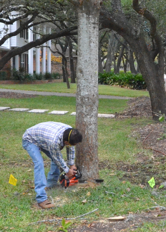 With the magnolia prepped, Victor cuts a series of wedges into the trunck, near the ground. The wedges take out a slice of wood in the direction he wants the tree to fall when it is cut and finally topples.