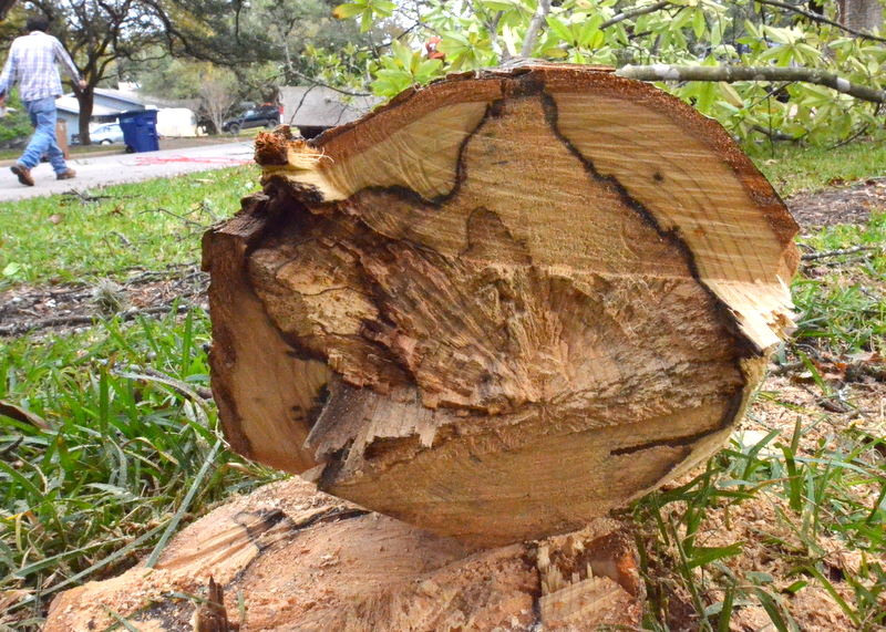 Cutting down the tree exposes just how close it was to dying. The center of the trunk is soft, with no structure. The black ring indicates the division between live wood around the circumference and dead wood at the heart of the tree.